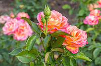 Picture: Blooming Rose